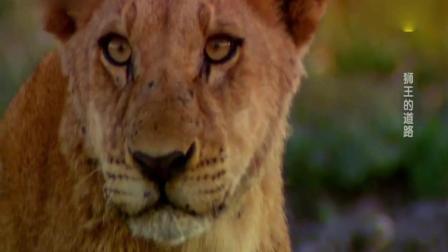 《自然传奇》狮子幼崽学习捕猎的过程, 在妈妈身上练习