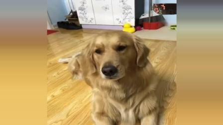这只金毛智商碾压所有狗, 主人每天这么跟它交流, 完全无障碍!