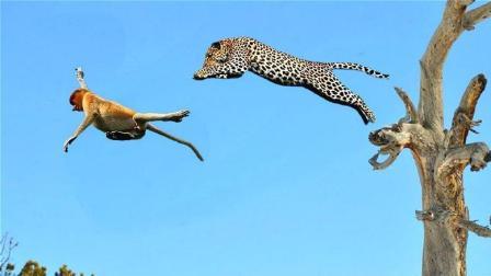 花豹上树捉猴子, 爬树贼溜, 猴子: 万万没想到这大猫爬树这么6