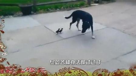 狗狗救了鸭子, 多了两个跟屁虫, 赶都赶不走!