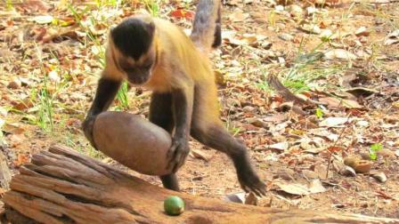 猴子砸坚果你以为很容易? 这可是老猴子毕生绝学, 技巧多着呢