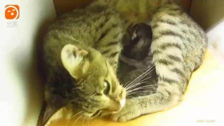 家里的母猫护崽, 生了三只小猫碰都不让碰