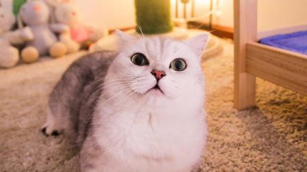 铲屎官花3000给新猫装扮猫房, 大猫嫉妒无比来捣乱, 凭啥我没有!