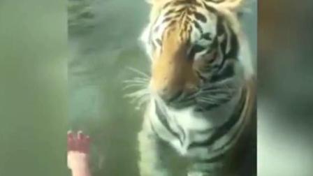 老虎缓慢靠近欲偷袭游客 无奈遭玻璃幕墙阻隔
