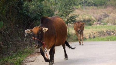 巨蟒咬死小牛, 大牛暴怒, 狂踩巨蟒!