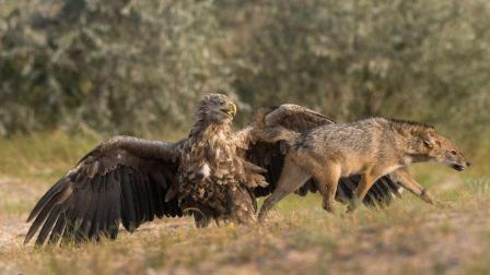 老鹰从后面完美突袭, 把狼的食物偷走, 狼还是蒙蔽状态!
