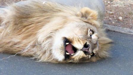 这头雄狮到底咋了? 竟然躺地上不断哀嚎, 网友: 肯定是压波兰队了!
