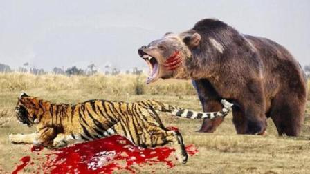 北极熊战力有多强? 世界最大的老虎秒杀北极熊, 狮子鳄鱼都不敢惹