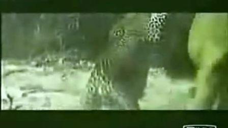 美洲豹大战雄狮