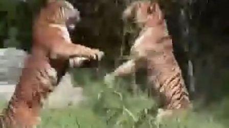老虎打架  真狠啊