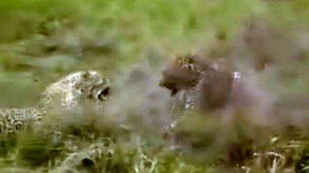 花豹鬣狗血腥打斗