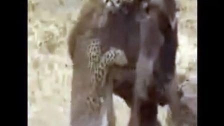 花豹、猎豹捕杀角马合集