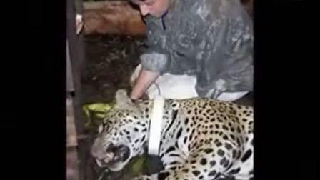 专业机构测量的最大体重的美洲豹142公斤