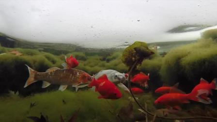 你知道冬天冰下的鱼怎么生活的吗