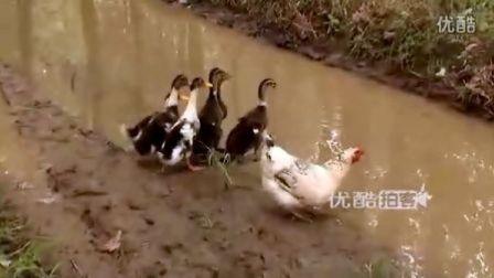 【拍客】母鸡当后妈带鸭宝游泳玩耍