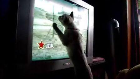 萌猫看电视军犬节目,很快进入角色.......