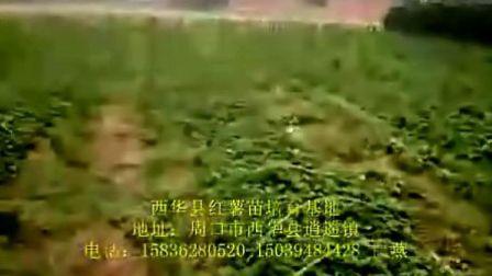 红薯苗;红薯,甘薯,低价格,河南红薯苗,河南红薯,
