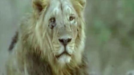 最后的亚洲狮