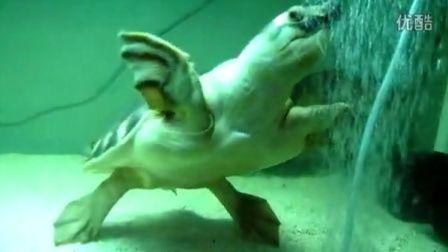 (20121221)时隔一年半 大猪鼻龟回归