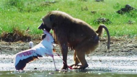 狒狒猎捕火烈鸟, 就地拔毛手法熟练!