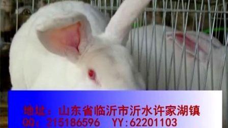 山东省獭兔,临沂獭兔,王雪獭兔,獭兔人工授精技术