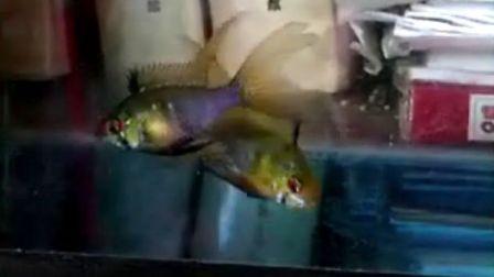 3对长鳍七彩凤凰鱼(荷兰凤凰鱼)