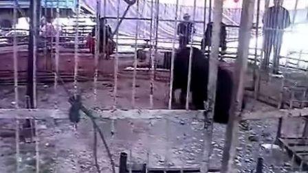 藏獒服从主人命令攻击狮子 (视频)