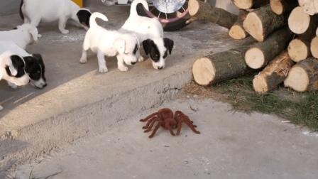 主人拿了一只蜘蛛来吓唬小狗狗们, 可主人貌似低估了狗狗们的胆量了哦