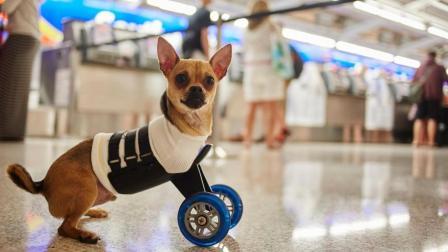 暖心的发明! 为残疾狗打造的轮椅, 让它能正常行走