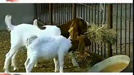 山羊养殖技术 农村养殖业致富养羊技术