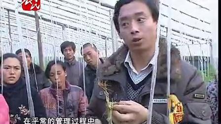 燕国胜——西红柿髓部坏死威县余堤村