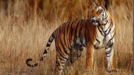 阿三名族围捕老虎