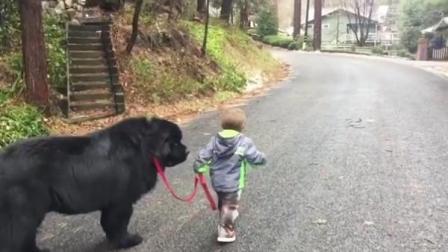 四岁小宝宝已经带着纽芬兰犬出去散步! 我们那时还在泥坑玩泥巴!