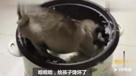 狗狗见主人们吃饭, 它也跑到电饭锅里面吃起来, 被抓后懵了