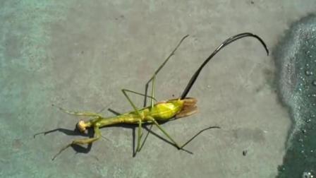 为什么螳螂死后, 会从肚子里钻出一条像铁丝的虫子? 看完大开眼界