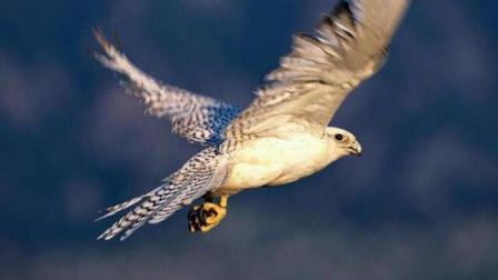 万鹰之神 传说中十万只神鹰才出一只