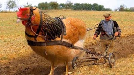 科普2分钟: 全球最大的鸡, 体型巨大像头牛, 它的存在是真是假?