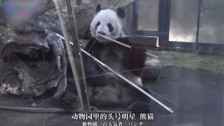 在熊猫面前, 日本人毫无抵抗之力, 排起两公里长队只为看30秒!