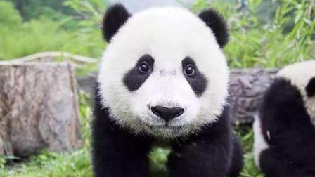 从古至今, 为什么大熊猫只生活在中国?