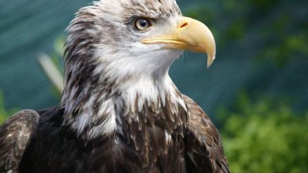 老鹰抓住一野鸭, 摁到河里淹死, 然后就吃了起来, 鹰是正是邪?