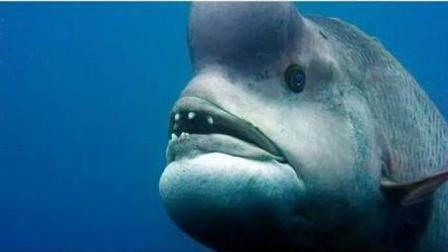 """被称为""""怪物史莱克""""的鱼-亚洲羊头濑鱼, 用一种怪异方式求偶异性"""