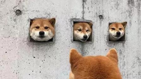 日本的三只钻洞柴犬 竟成为网红