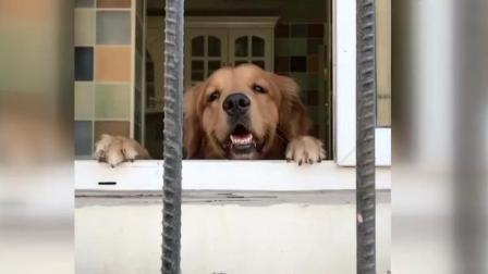 金毛轮胎自己在家打碎玻璃, 最后男主人搜索狗肉的做法, 轮胎害怕!