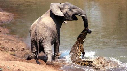 大象去河边喝水, 被一只鳄鱼偷袭咬中鼻子, 大象: 小老弟, 你真膨胀!