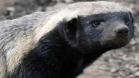 得罪了蜜獾是什么下场? 追你两小时都要咬一口, 社会我平头哥!