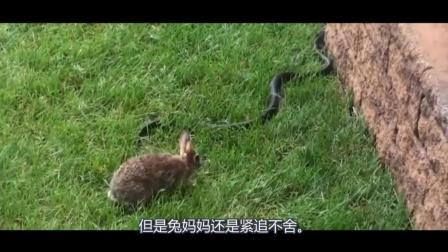 FIGO说奇事, 人蛇大战你看过了, 兔子和蛇大战你看过吗?