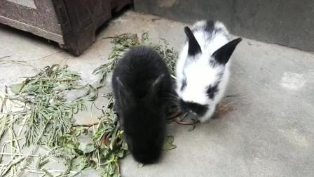 两只可爱的小兔子, 小白和小黑