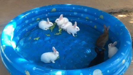 一窝小兔子, 小灰兔突然急眼了, 兔子开战你见过吗?
