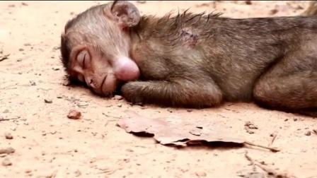 小猴子被打的好惨啊, 一动不动的躺在那儿, 身上还有伤口!