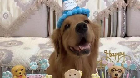 活得不如狗! 网红金毛轮胎过四岁生日, 主人特意给它定制了三个蛋糕